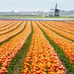 Holandia wakacje na barce plantacje tulipanów