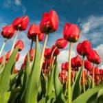 Tulipany - Holandia