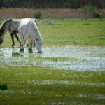 Konie z Camargue Canal du Midi